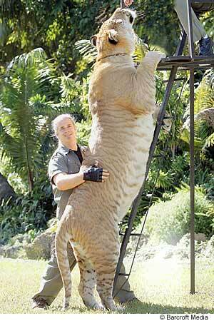 This Guy is A cross between a Tige and a lion-10ft tall damn