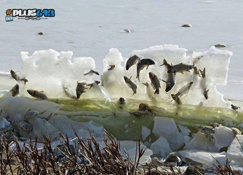 Fish frozen in ice at Lake Andes National Wildlife Refuge in South Dakota.
