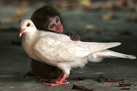 Monkey Pigeon Love